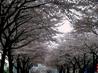 桃桜2012041403