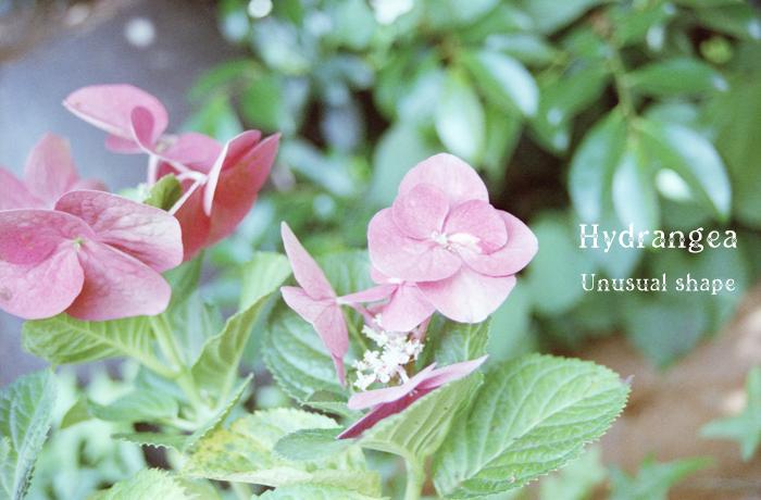 HydrangeaHydrangea.jpg