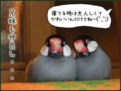 文鳥 010