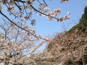 sakura_convert_20120409233137.jpg