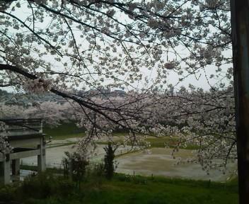 雨と桜 2