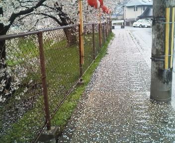 雨と桜 1
