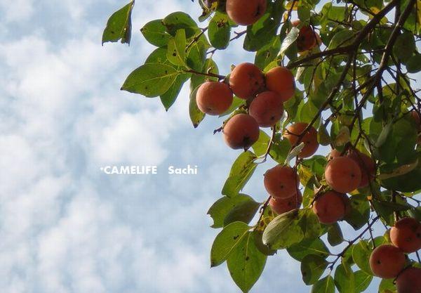 うろこ雲×柿