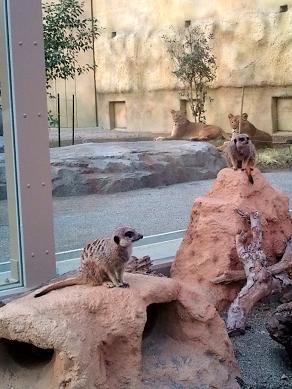 ミーアキャットとライオン