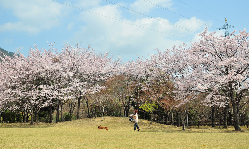 01-宮島SA桜