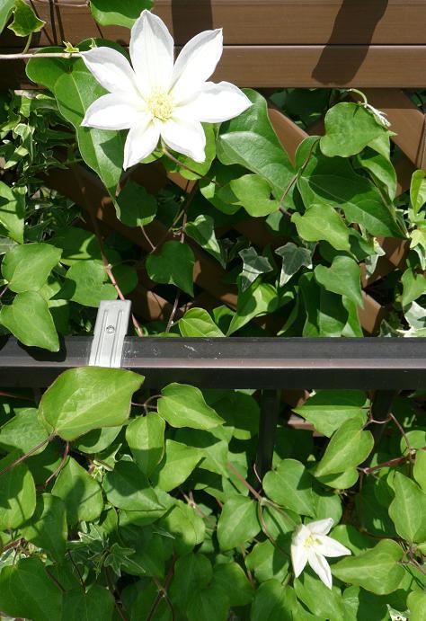 P1300575_白雪姫 門前花壇側2