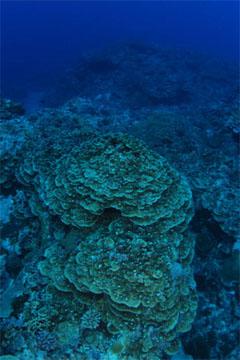 アザミサンゴ(与那国島)