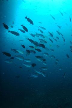 魚の群れ(マブール)