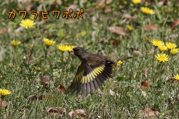 20110510kawarahiwa.jpg