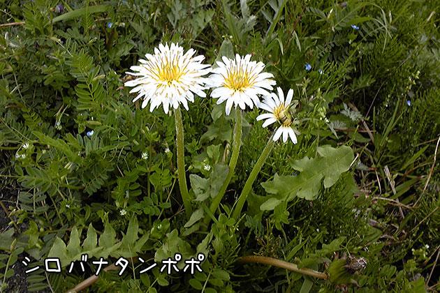 20110510shirobanatanpopo_20110510220236.jpg