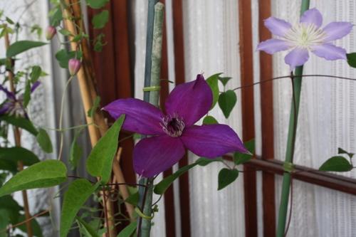 2009.♂紫姫×♀フロリダ Ⅰ