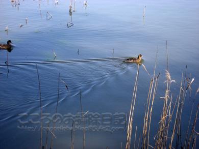 水面の鴨04