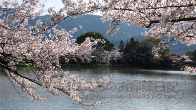 池と桜04