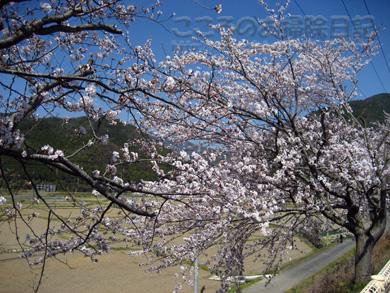 桜04-1