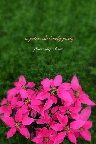 プリンセチア ピンク ポインセチア