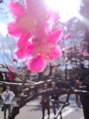 根津神社2012_convert_20120328141927