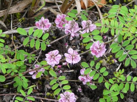 富士山の花