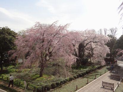 東郷時しだれ桜2