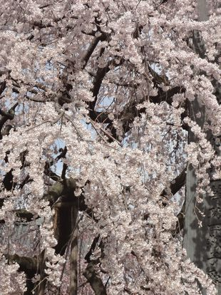 東郷時しだれ桜1