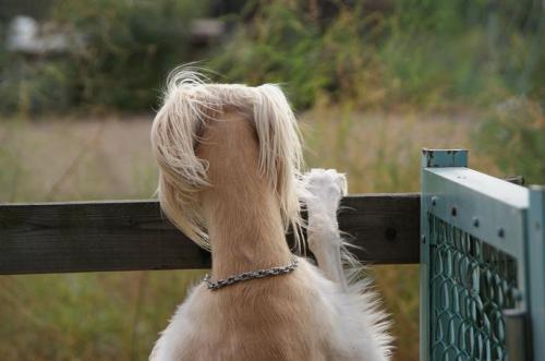 北海道犬のアジリティー8