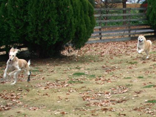 北海道犬のアジリティー9