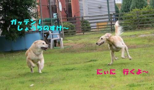 北海道犬のアジリティー1