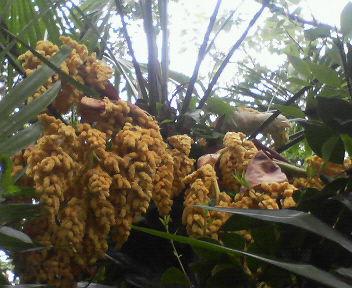 20110513棕櫚の花