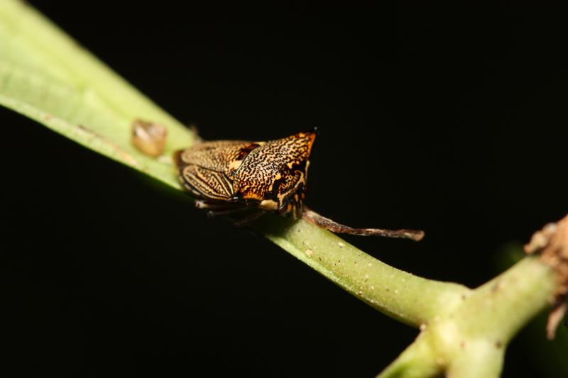 Alcimocoris japonensis ウシカメムシ