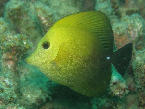 ゴマハギ カケロマ島