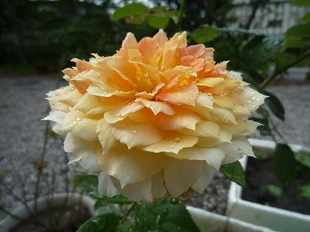 さしきバラ2