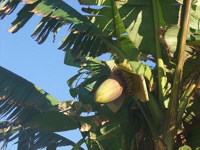 banananomi.jpg