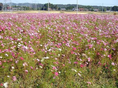 kosumosu.jpg