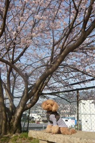 桜とちゃお