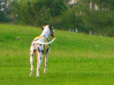 ダルメシアン アル 2歳4ヶ月 草地2
