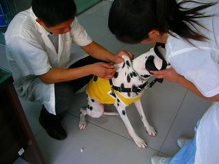 ダルメシアン アル 2歳3ヶ月 病院 091013