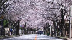 sakura-Tunnel3.jpg