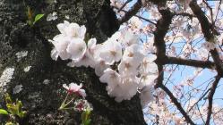 sakura-miki.jpg