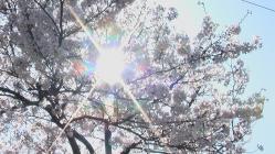 sakura-taiyo.jpg