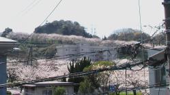 sakura-yama2.jpg