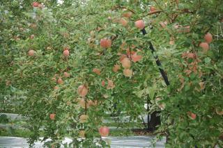 Dリンゴ1