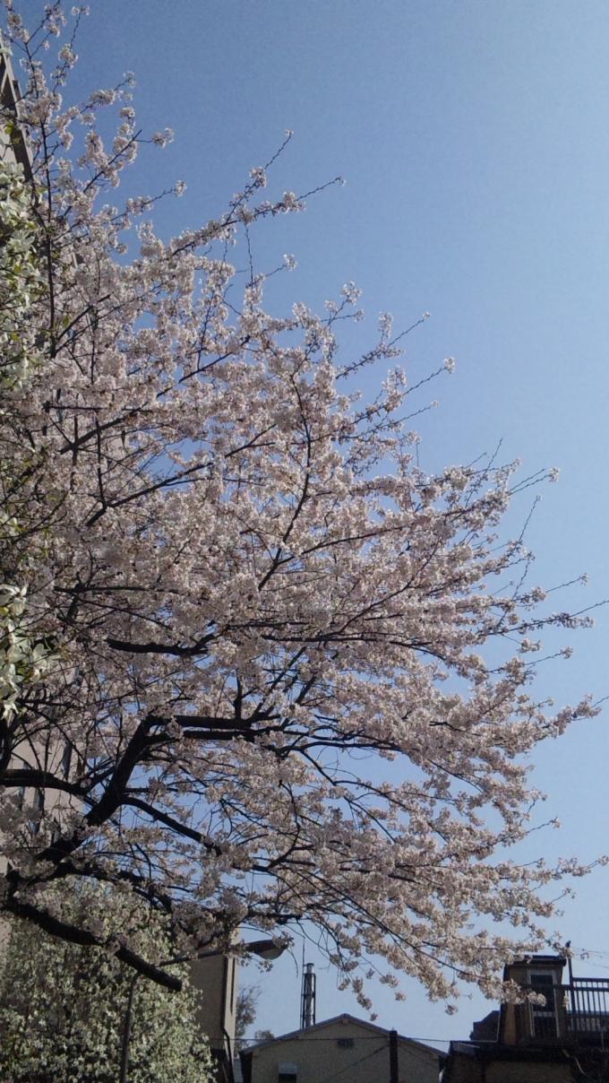 SAKURA_20110410