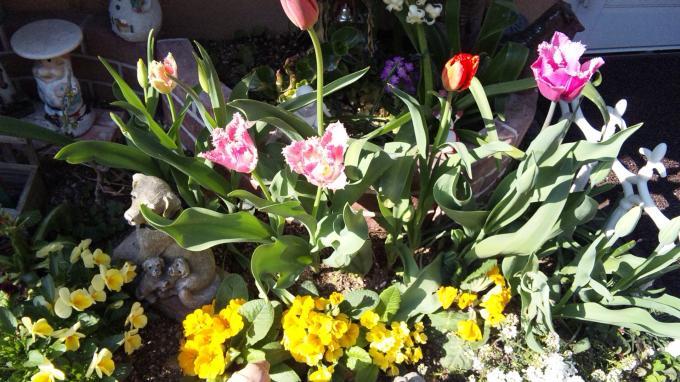 Tulip_20110413