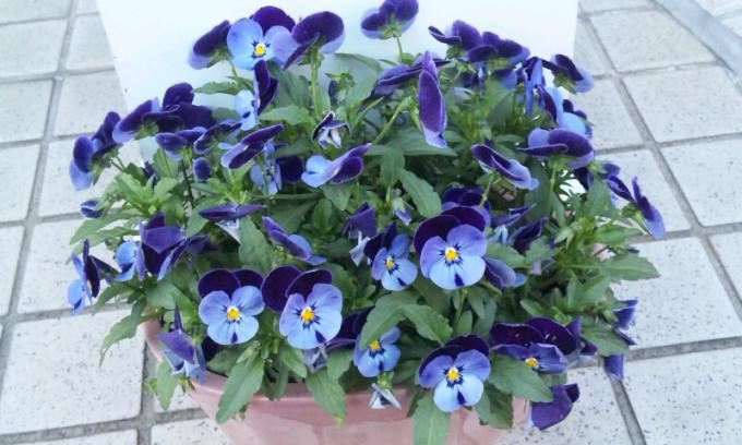 PANSY_20110415