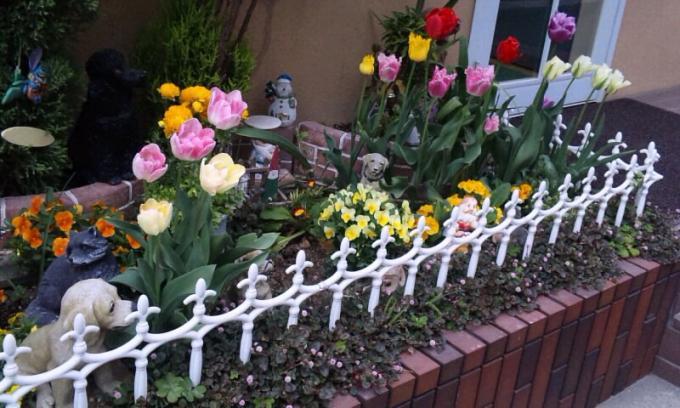 Tulip_20110418