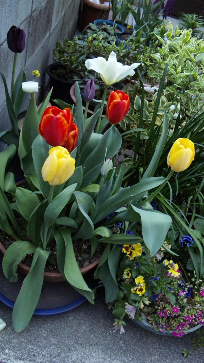 Tulip_20110420
