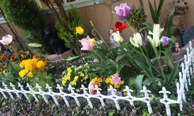 Tulip_20110424