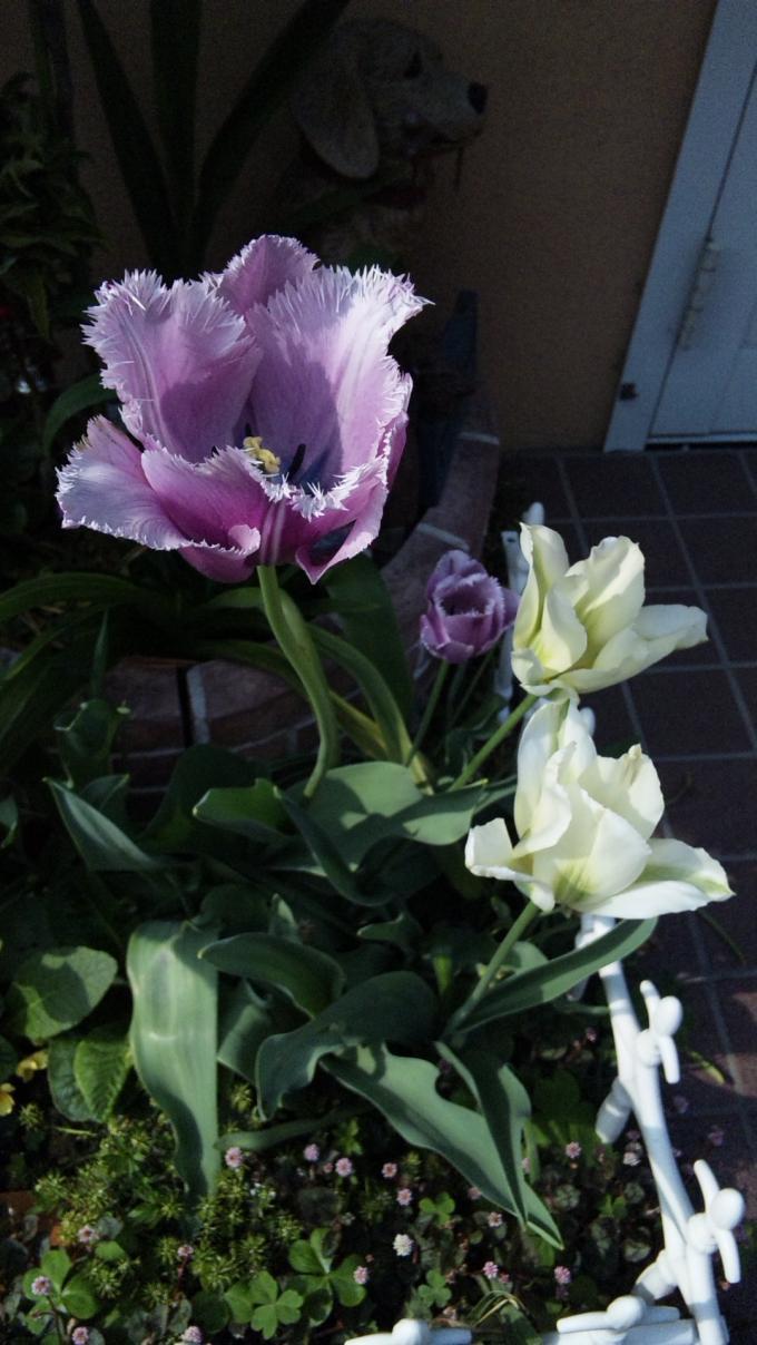 Tulip_20110426