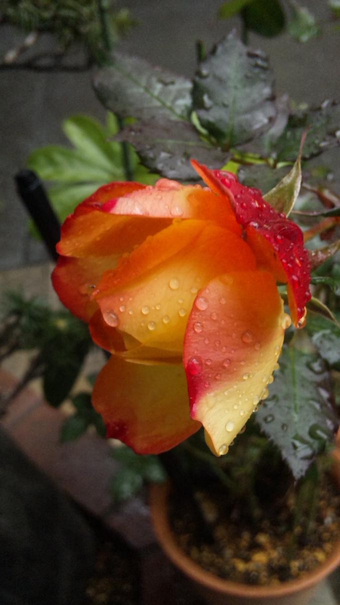 ROSE_20120214