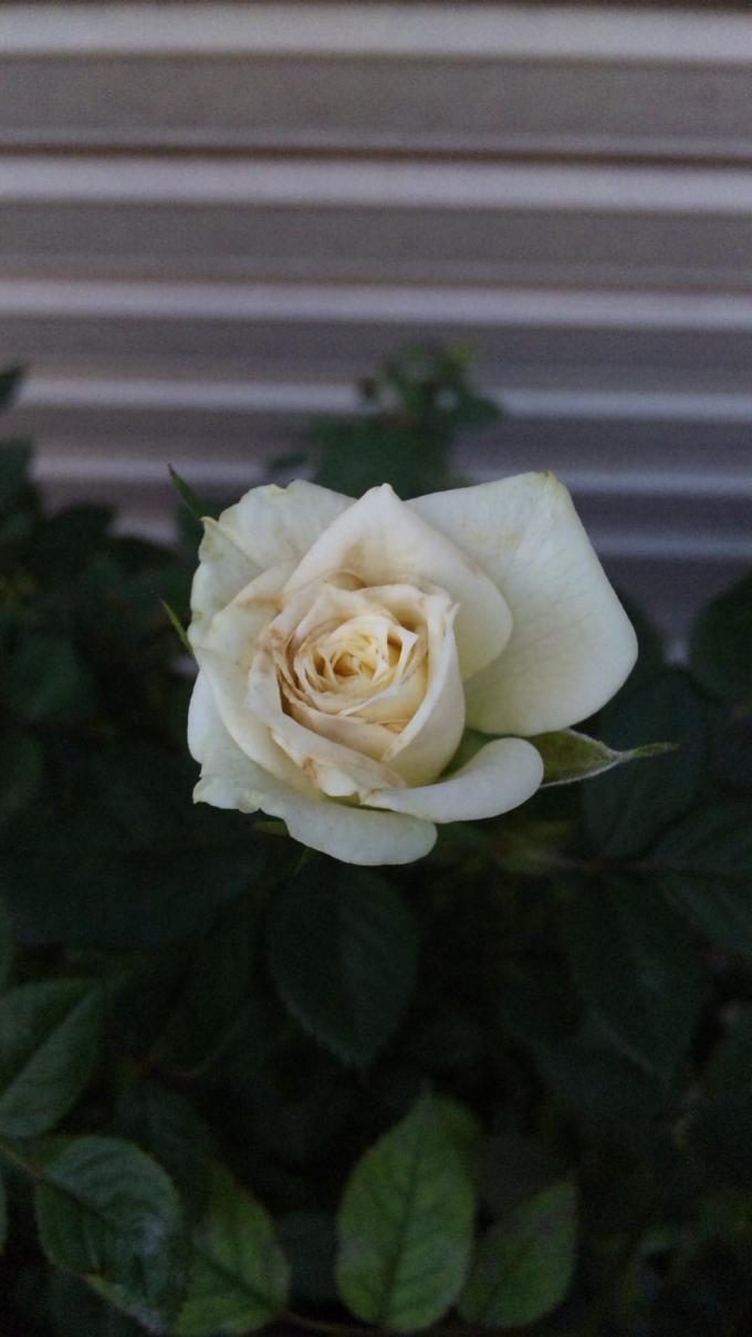 ROSE_20111028
