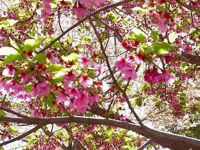 07桃色のさくら